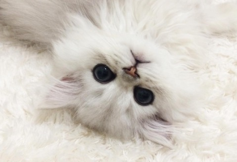 Internet-famous Teacup Persian cats are here to get us through this Thursday