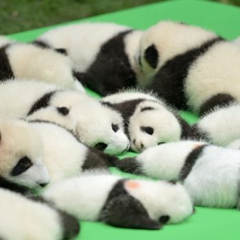 Oh, hi, here are 23 baby pandas in case you wanted to be wrecked with cuteness
