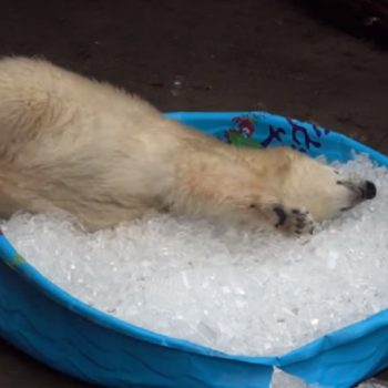 This baby polar bear enjoying an ice bath will hit you right in the feels