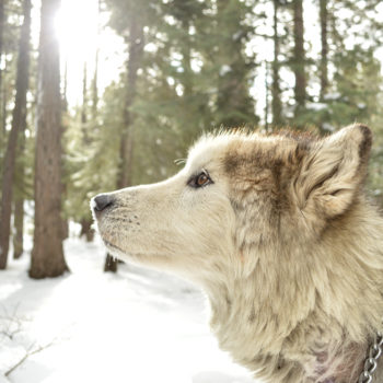 Guy unknowingly adopted an adorable puppy that turned out to be a wolf ...