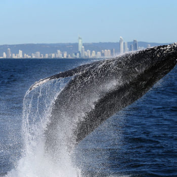 This photographer got unbelievably close to a breaching whale and the footage is spectacular