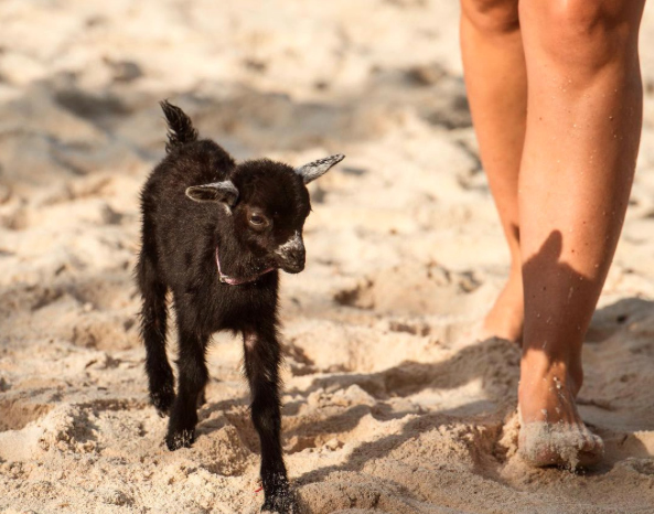 This adorable goat named Penny Lane has better adventures than we do, and it's giving us major FOMO