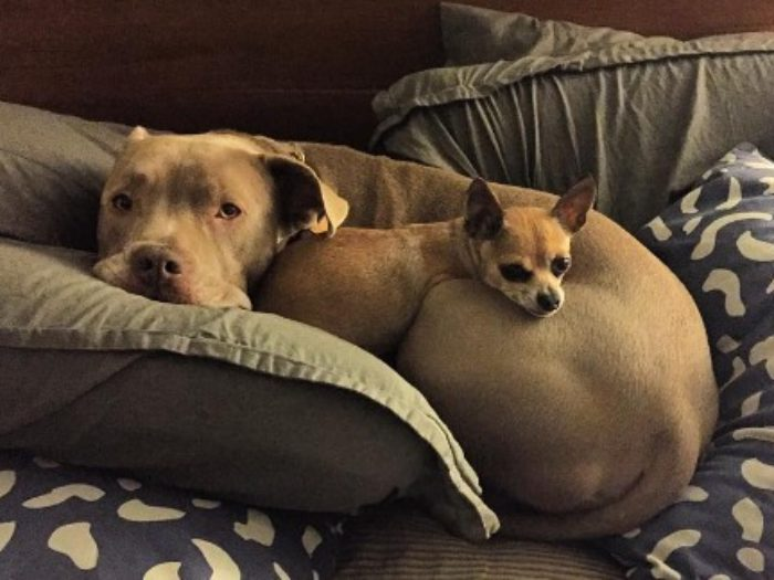 This Giant Pit Bull And His Tiny Bff Chihuahua Are So Cute