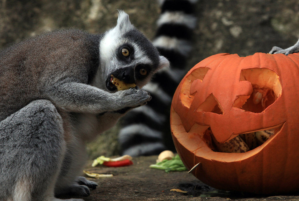 6 adorable zoo animals playing with pumpkins for some Halloween cheer