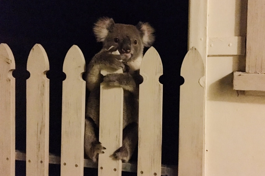 This little lost koala made everyone's day this weekend