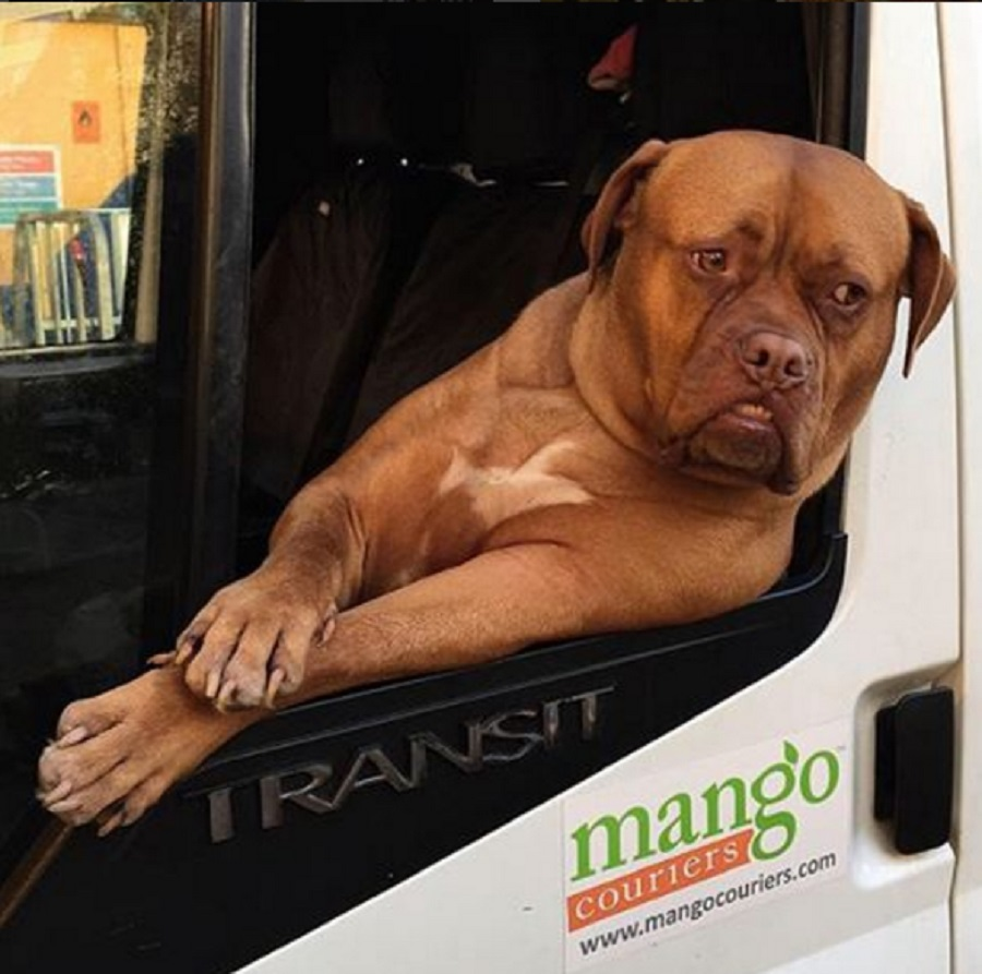 This huge dog with resting b*tch face is chilling out, driving a van, and we are obsessed