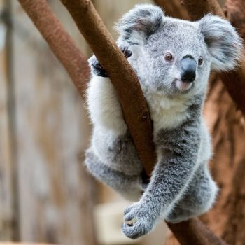 This adorable baby koala got *way* too excited and ran face-first into a tree