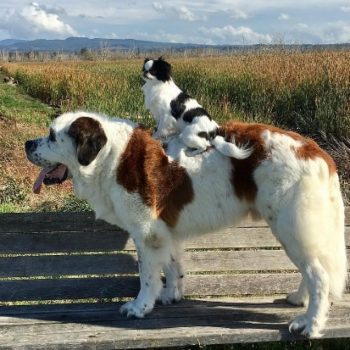 This tiny pup that rides around on a gigantic St. Bernard is living its best life