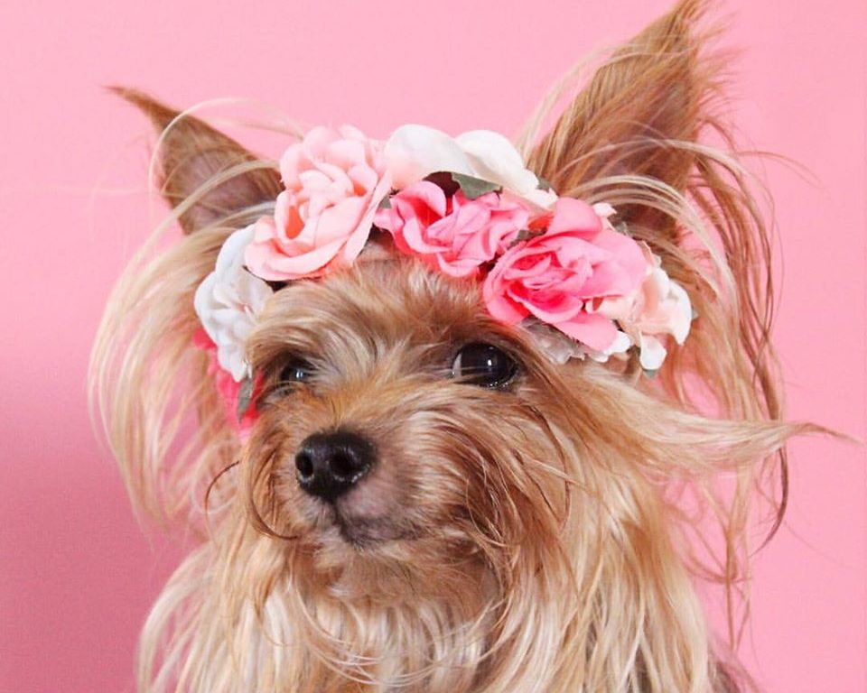 This super trendy Yorkie pup is our new style icon and we couldn't love her more
