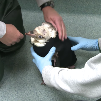 Cuteness overload: a penguin with feather loss got a tiny wetsuit to stay warm