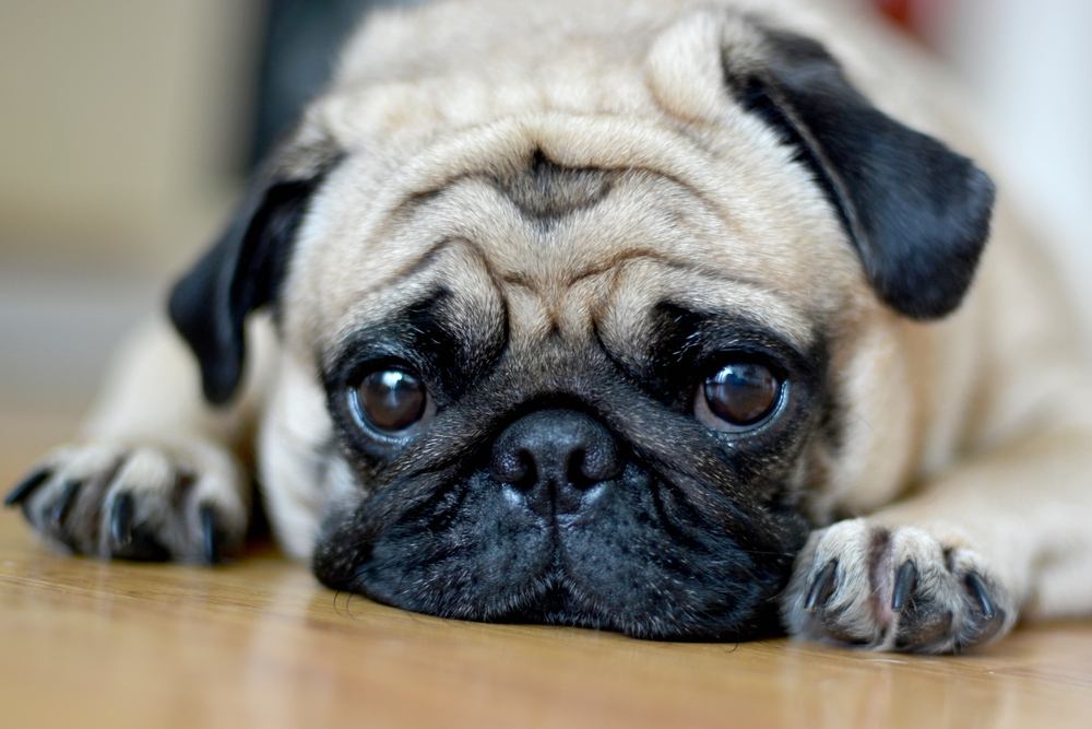 The internet is collectively crying for this pug longing for his owner at Starbucks