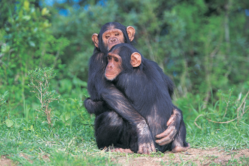 Chimpanzees just gave us insight into how friends help us deal with stress