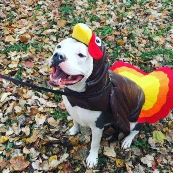 13 of the cutest dogs dressed like turkeys because this is something you need to see