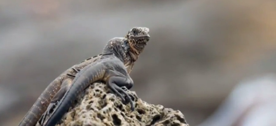 This video of snakes chasing an iguana from 'Planet Earth II' is the most intense thing we've ever seen