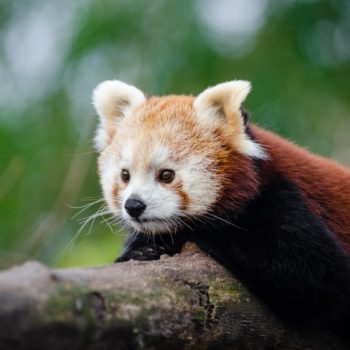 This zoo wants to ease your election anxiety with a livestream of red pandas