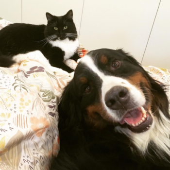 This Bernese mountain dog and his cat buddy play fighting will cheer you up today