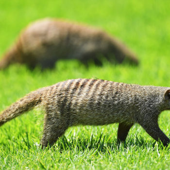 These mongooses interrupted a golf tour because they obviously couldn't care less about silly human games