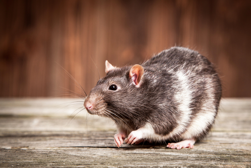 Researchers tickled rats for science — and you can watch the precious video here