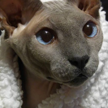 This very bald Sphynx cat is the magical and perfect pet of our dreams