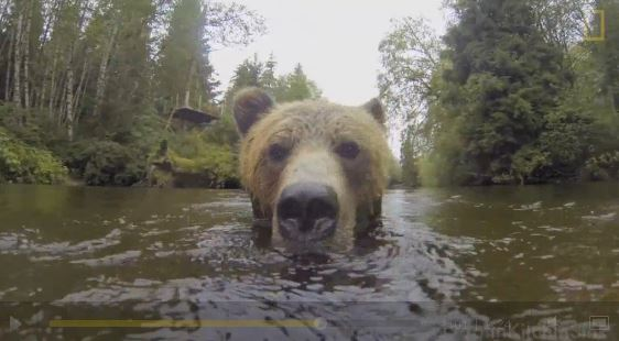 This young grizzly bear splashing in a river is ready for her closeup, and the video is too cute