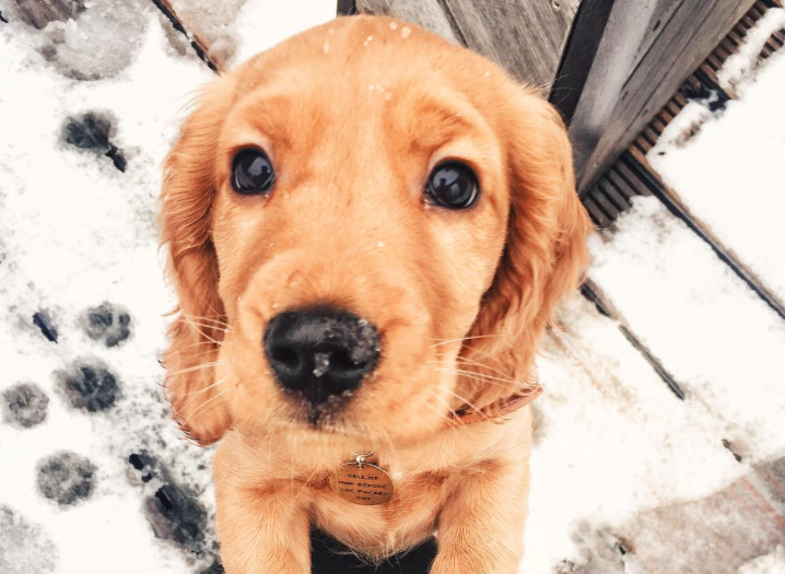 This adorable cocker spaniel is something out of our most beautiful puppy dreams