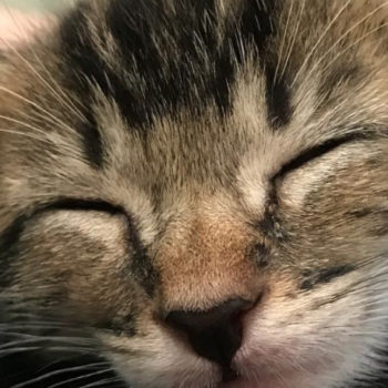 This cat foster mom has 6 kittens and it's the stuff of our cat-loving dreams