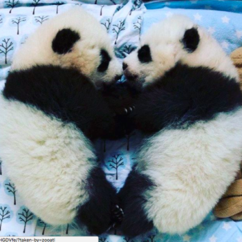These adorable baby pandas in Atlanta need new names, and you can vote on them