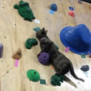 This cat just climbed a rock wall like a pro, and we're totally impressed
