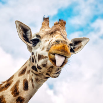 The internet is currently losing it over how giraffes should wear their neckties