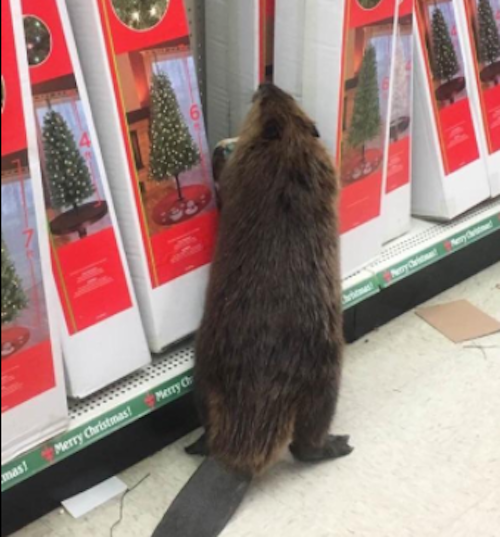 This beaver casually shopping for Christmas decorations is an adorably festive pick-me-up