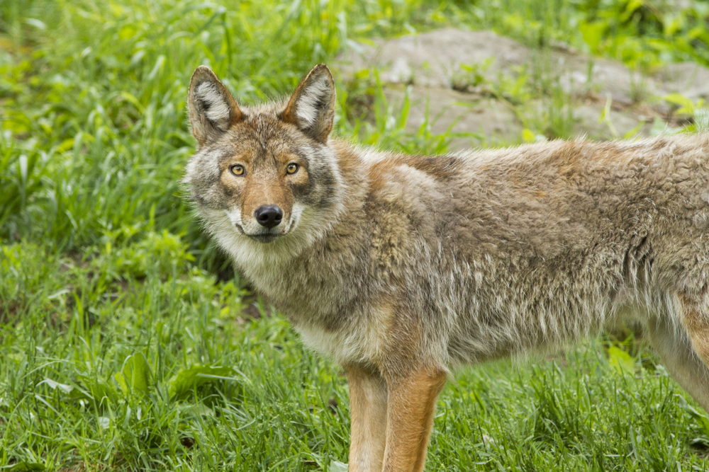 This woman convinced her husband she had adopted a coyote and we cannot stop laughing at his reaction