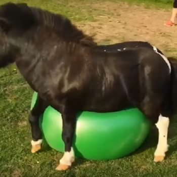 Here's a miniature horse playing with an exercise ball and we can't stop smiling