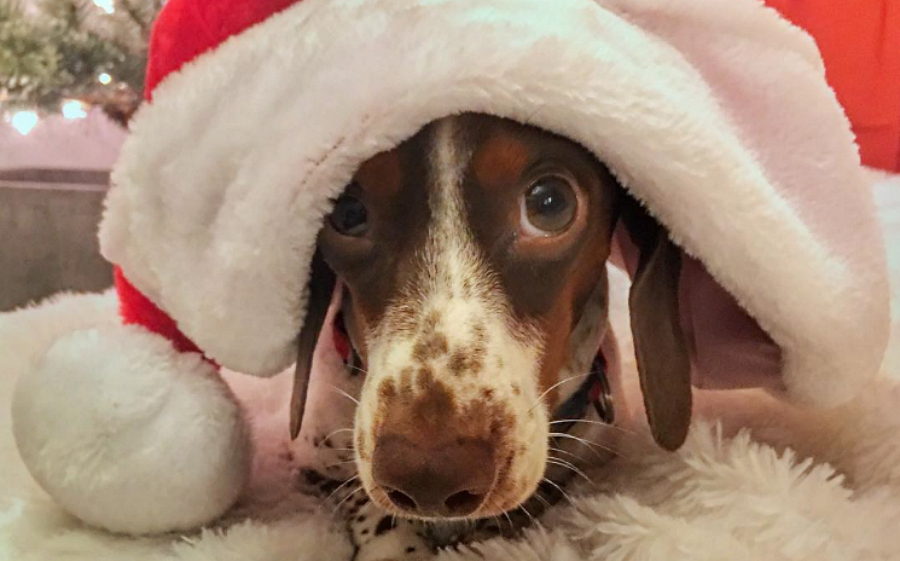 This festive dog experiencing Christmas in costume, complete with song, is the best part of this holiday season so far
