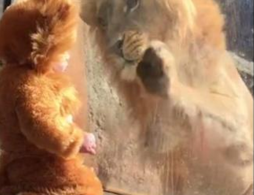 Watch a real lion meet a baby dressed in a lion costume, and feel all the feels