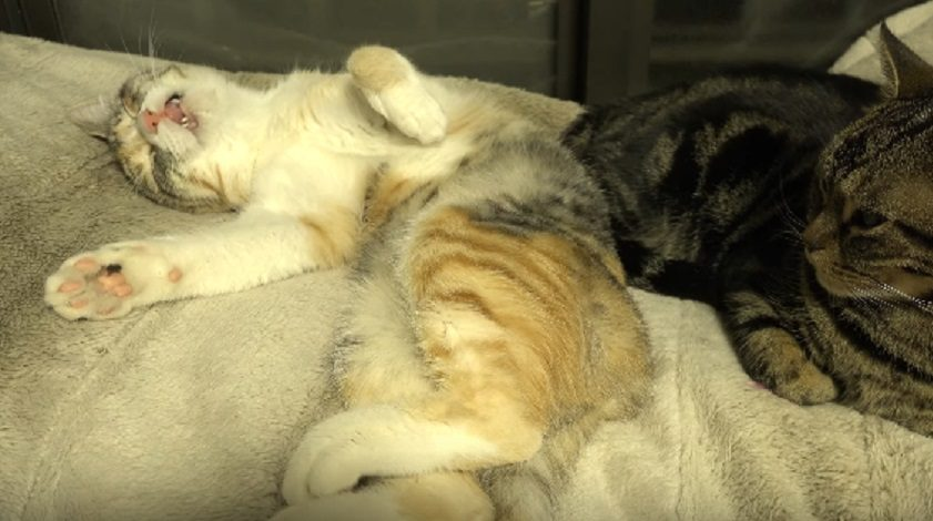 This cat meowing in its sleep is *so* cute it actually hurts, and we can't stop watching