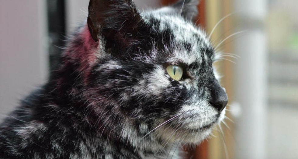 This adorable cat with vitiligo is a marble work of art, and we just wanna cuddle him