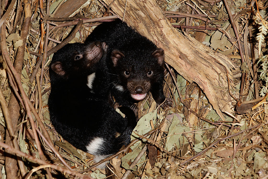 Baby Tasmanian devils playing in a winter wonderland is the cutest holiday moment ever