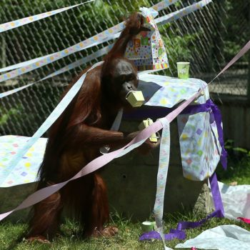 This pregnant orangutan is registered at Target for her baby shower, and we can't deal