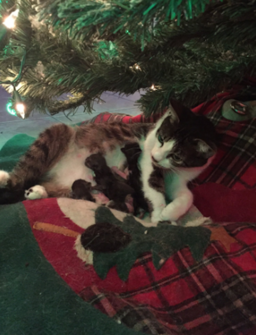 This cat unexpectedly gave birth under a Christmas tree, and it is a legit holiday miracle