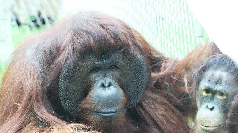 This orangutan had a baby shower and it was obviously the party of the year