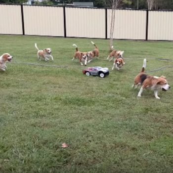 Here's a video of beagles chasing a toy car, proving that dogs are naturally funny AF