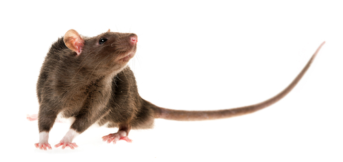 Pole-Dancing Rat might just dethrone Pizza Rat as the most iconic rodent
