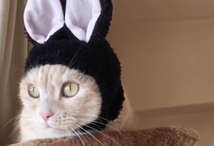 This cat spent all day wearing bunny ears and we're all giggles