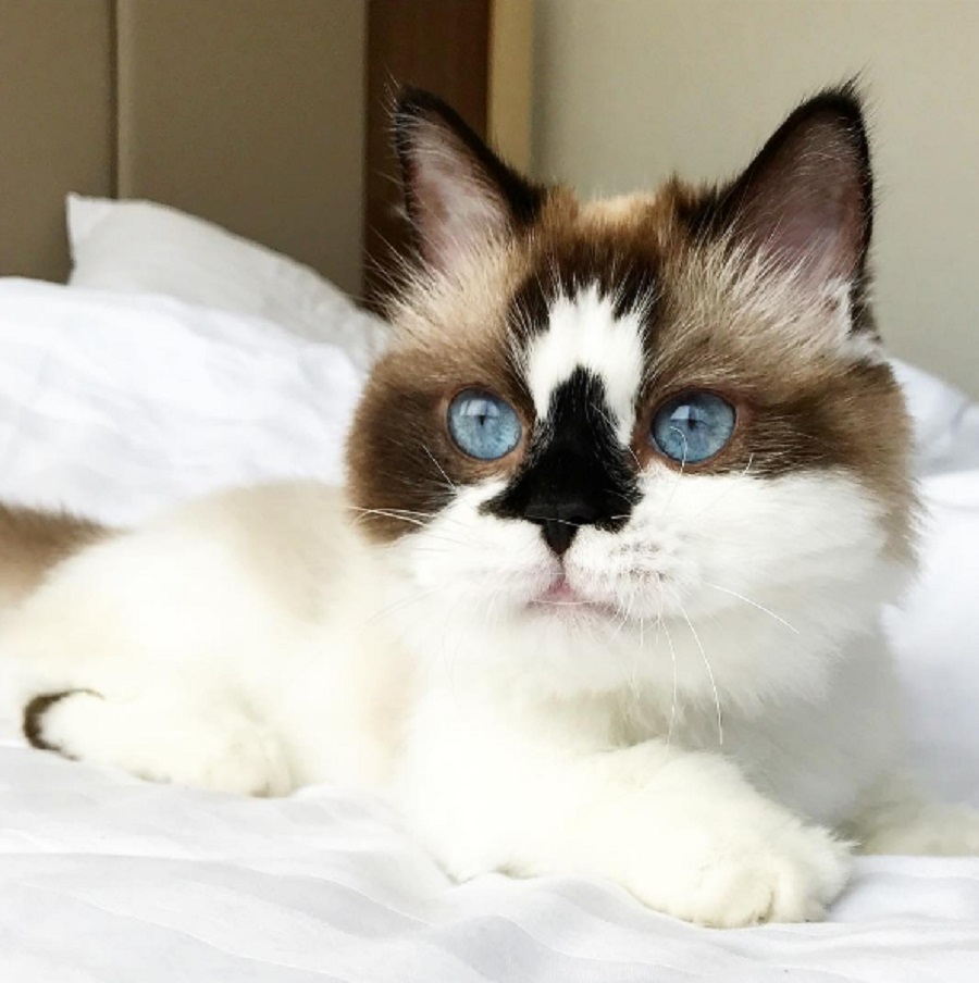 This adorable munchkin cat is about to be your new feline fave of Instagram