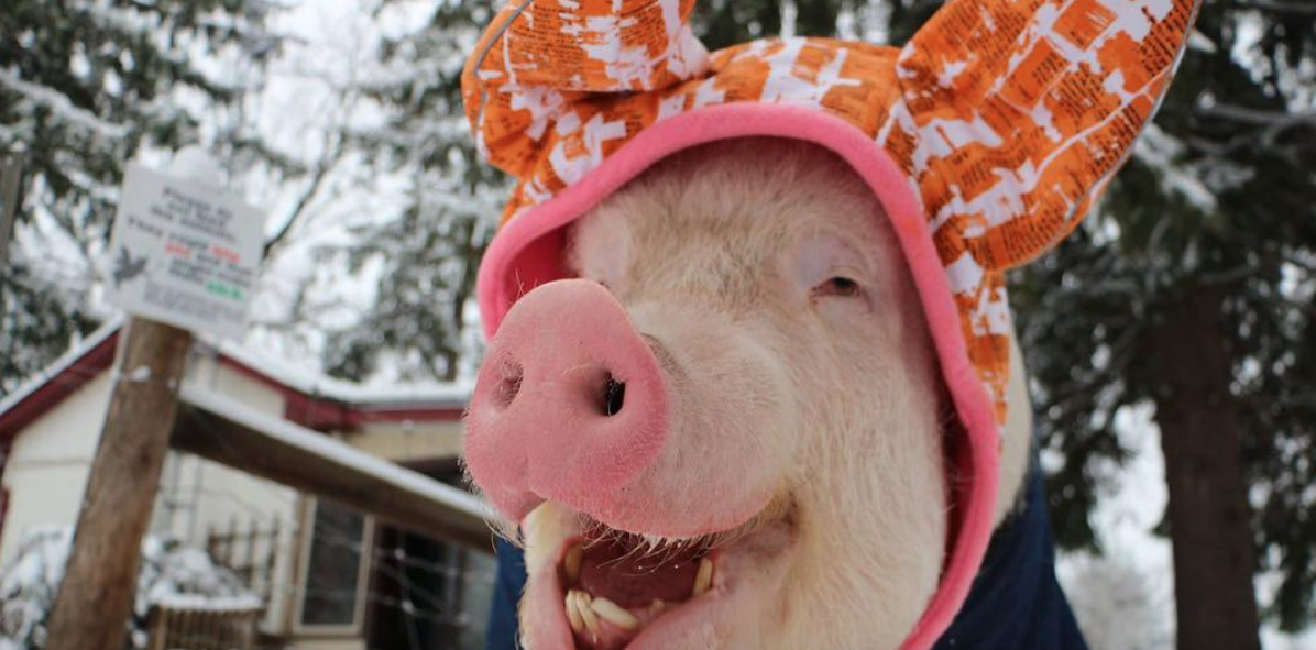 This Instagram famous pig loves her winter hat, and it's so cute we're gonna cry