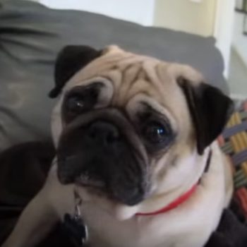 This pug is so ashamed of himself, but OMG we forgive him because so cute