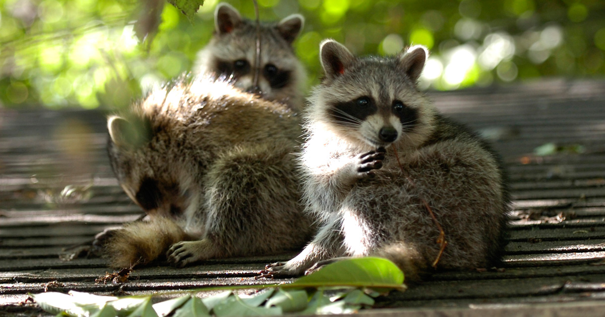 This teenager befriended a family of raccoons and it's too cute