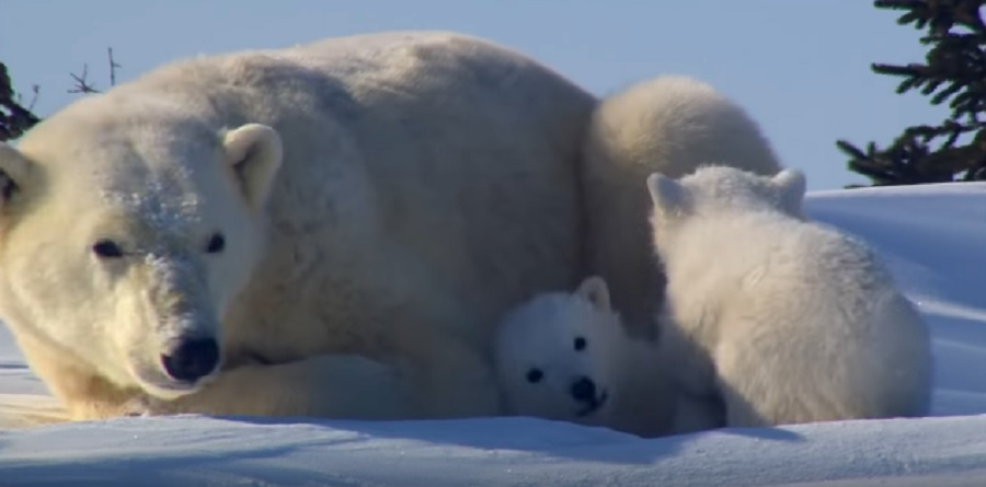 Here's a video of polar bear cubs getting their first peek at the world, which you definitely want to see