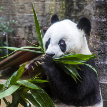 """The oldest male panda in the world died this week but he lived a full life as a """"hero father"""""""