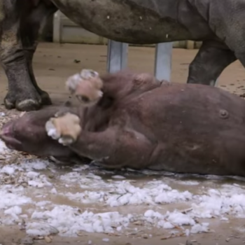 This baby rhino experiences snow for the first time, epitomizes happiness